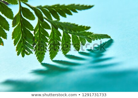 Macro photo green fern leaf with shadow pattern on blue background with copy space. Natural backgrou Stock photo © artjazz