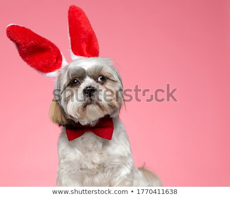 elegant shih tzu wearing red bunny ears looks to side Stock photo © feedough