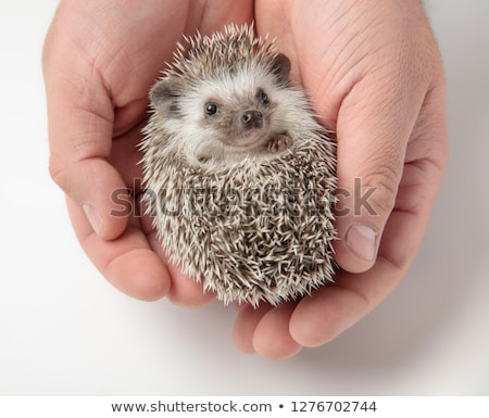 cute african dwarf hedgehog lying in persons hand stock photo © feedough