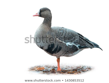 White-Fronted Goose Cutout Stock photo © DragonEye