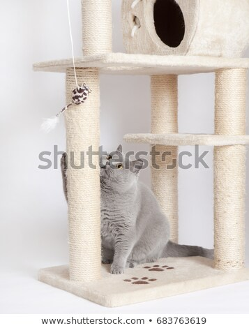 Funny British shorthair kitten play, scratching a cat tree Stock photo © Illia