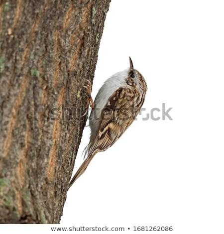 Treecreeper  (Certhia familiaris) Stock photo © chris2766