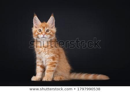 chaton · yeux · espace · blanche · chatte · Rechercher - photo stock © broker