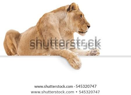 oroszlán · bámul · vad · közvetlenül · kamera · háttér - stock fotó © arenacreative