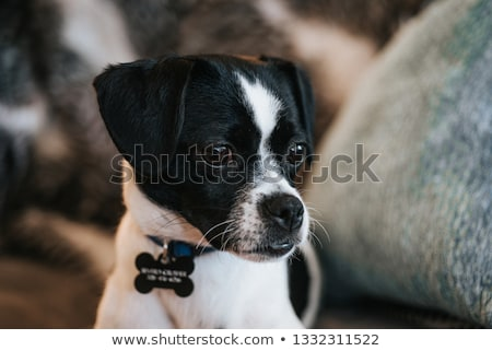 puppy jack russel terrier and chihuahua Stock photo © cynoclub