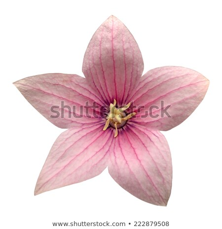 Star-shaped pink flowers Stock photo © AlessandroZocc
