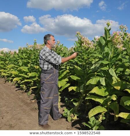Agricoltore tabacco campo foglia Foto d'archivio © simazoran