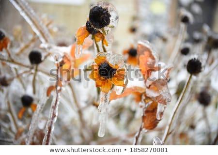 зима снега завода кустарник дерево природы Сток-фото © davidgn