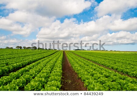 Rows of salad on an agriculture field  Stock photo © yoshiyayo