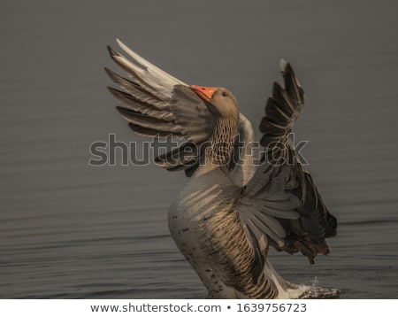 a greylag goose stock photo © michaklootwijk