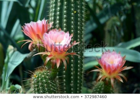 Gyönyörű virágzó kaktusz részlet piros tavasz Stock fotó © meinzahn