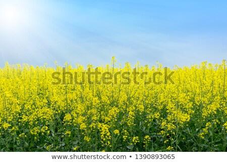 rape field under blue sky  with wind power station Stock photo © meinzahn