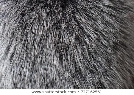 Ezüst róka közelkép természetes állat vásár Stock fotó © boggy