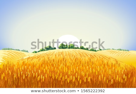 summer view of ripe wheat stock photo © lypnyk2