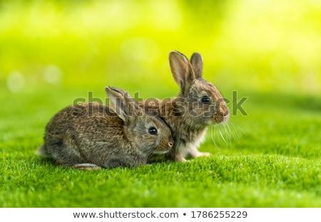 Young rabbits Stock photo © ruzanna