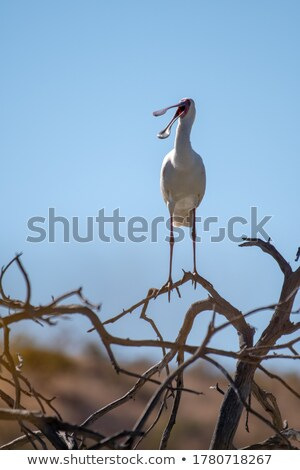 African spoonbill in a tree. Stock photo © simoneeman