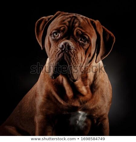 Bordeau kutya portré szürke stúdió szem Stock fotó © vauvau