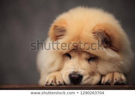 adorable chow chow lying with head down on wood floor Stock photo © feedough
