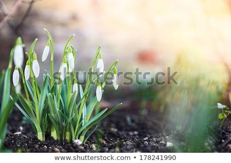 primavera · azul · flores · nieve · frontera - foto stock © kotenko
