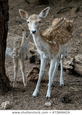two young fawn deer Stock photo © pictureguy