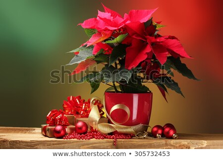 Christmas Star flowers poinsettia with gold ribbon Stock photo © LoopAll
