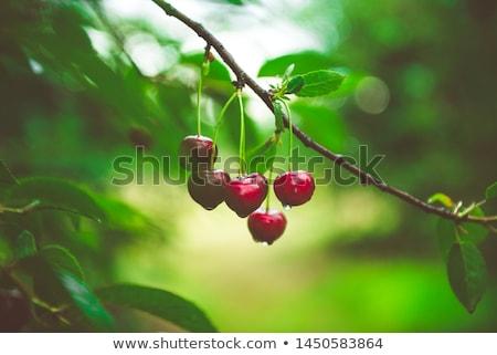 iki · kırmızı · sulu · tatlı · kiraz · yalıtılmış - stok fotoğraf © taden