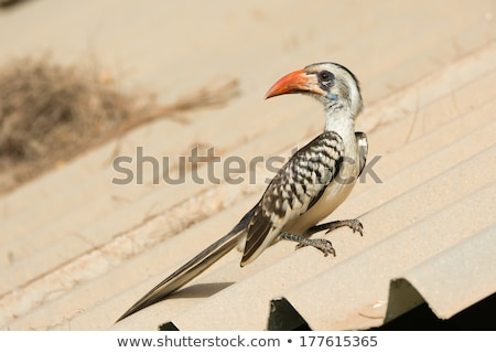 Young Western Red-Billed Hornbill Stock photo © davemontreuil