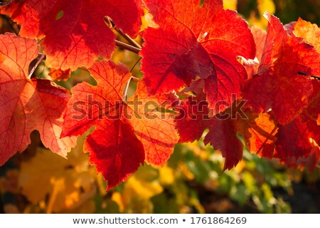 Autumn Grapevine Color Stock photo © rghenry