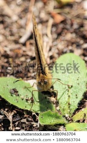 Kahverengi ada kelebek böcek turizm Avustralya Stok fotoğraf © dirkr