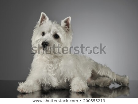 West Highland White Terrier lying in a shiny gray background Stock photo © vauvau