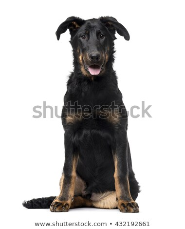 beauceron sitting in a white background studio Stock photo © vauvau