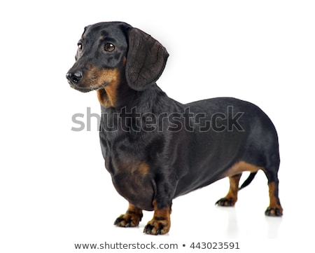 Stock photo: smooth hair dachshund in a white studio