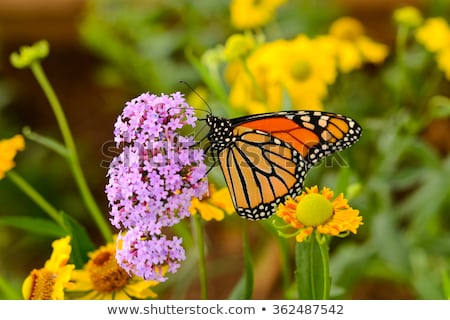Summer butterflies monarchs Stock photo © blackmoon979