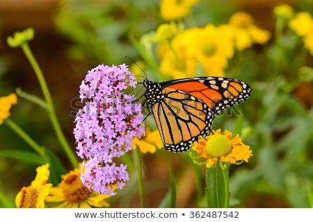 summer butterflies monarchs stock photo © blackmoon979