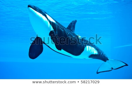 Killer whale in the aquarium Stock photo © colematt