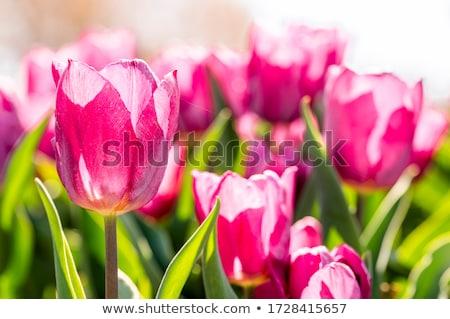 チューリップ 選択 フォーカス 多くの ピンク 浅い ストックフォト © dsmsoft
