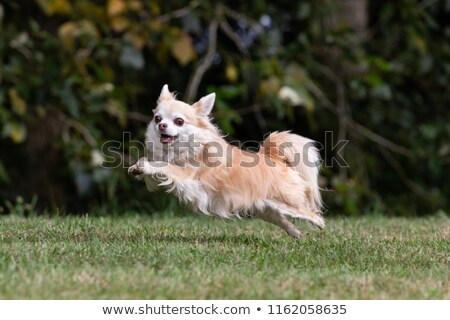 jumping chihuahua stock photo © cynoclub