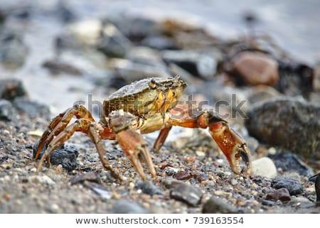 A crab on the shore  Stock photo © 3523studio