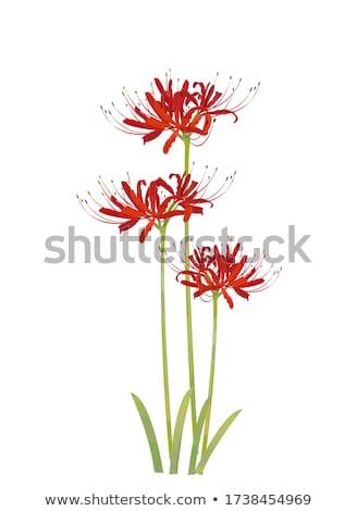 spider lily stock photo © varts