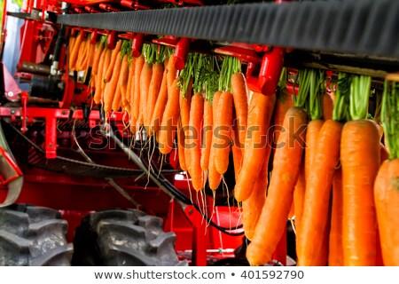 овощей морковь урожай человеческая рука Сток-фото © dgilder