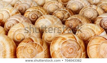 Escargot shell texture Nice naturelles maison Photo stock © jonnysek