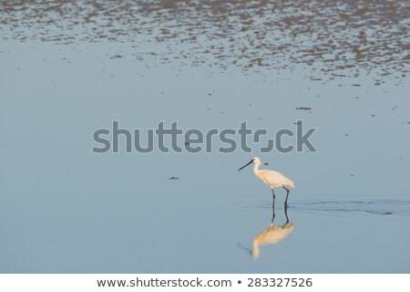 Spoonbills in Dutch wadden sea Stock photo © ivonnewierink