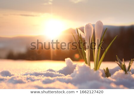 Açafrão neve dois roxo crescente primavera Foto stock © smuki