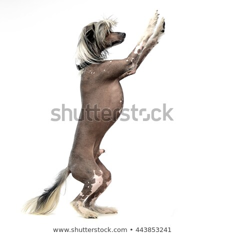 Chinese crested dog standing up in gray background stock photo © vauvau