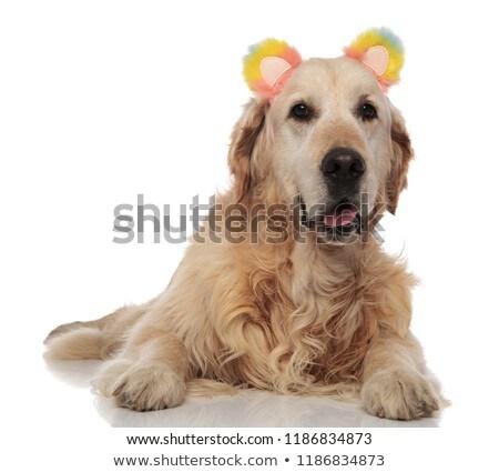 Zihálás labrador színes medve fülek hazugságok Stock fotó © feedough
