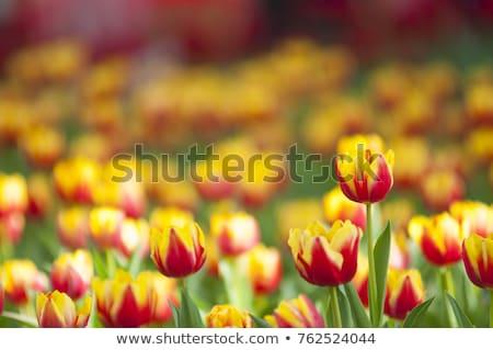 Vermelho amarelo tulipas fresco flores escuro Foto stock © neirfy