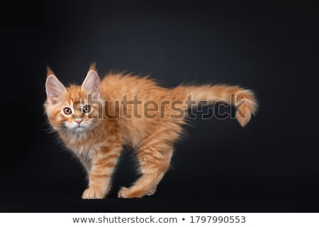 Stock photo: Majestic red tabby Maine Coon cat kitten on black