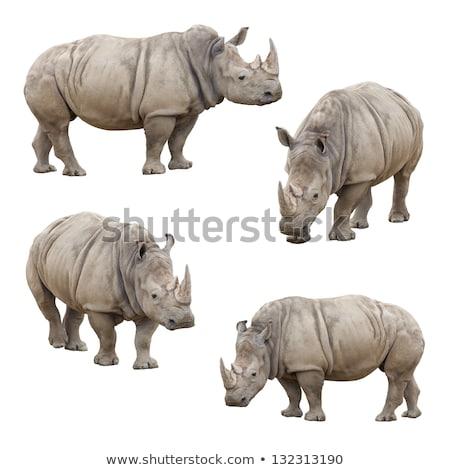 set of rhinos isolated Stock photo © bluering