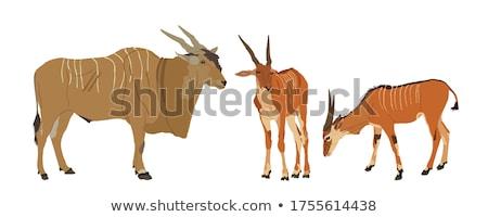 Two Eland (Taurotragus oryx) Stock photo © hedrus