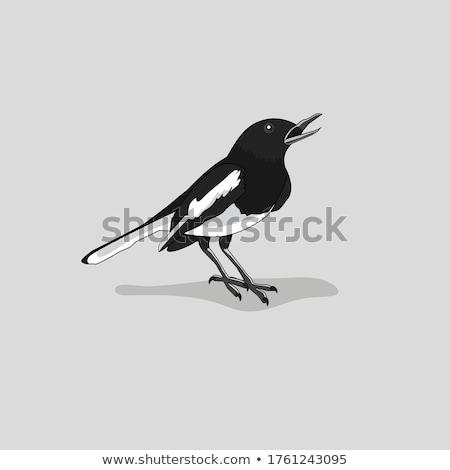 Magpie bird Stock photo © Elenarts